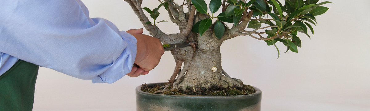 Outstanding Bonsai Basics Japan Foundation Sydney Wiring Cloud Oideiuggs Outletorg