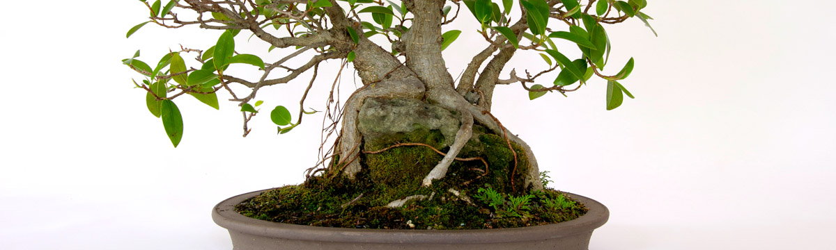 header-bonsai-generations